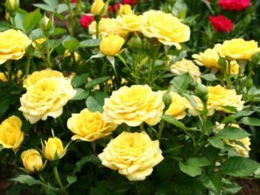 Как правильно делать обрезку  розам