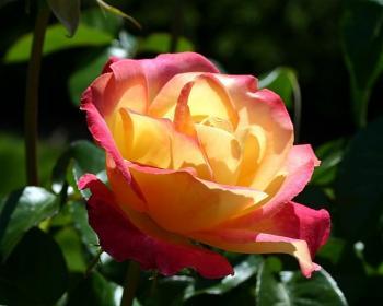 Как правильно делать обрезку  чайно-гибридным розам