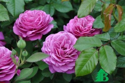 Как правильно делать обрезку  полиантовых и  флорибундовых роз