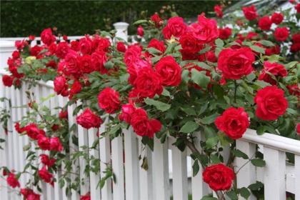 Как правильно делать обрезку  плетистых  роз