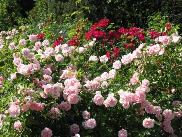 Как правильно делать обрезку  парковых роз