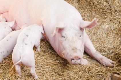 Содержание и кормление супоросных свиноматок