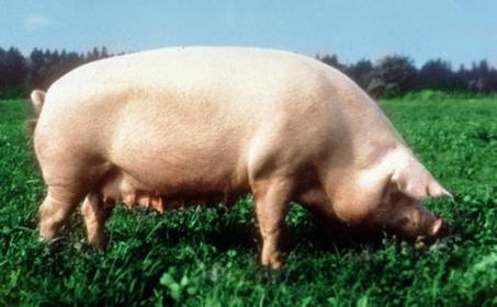 Характеристика  украинская степная белая, литовская белая, брейтовская породы  свиней