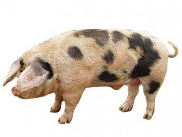 Характеристика муромская,  северокавказская, ливенская,  белорусская черно-пестрая породи свиней