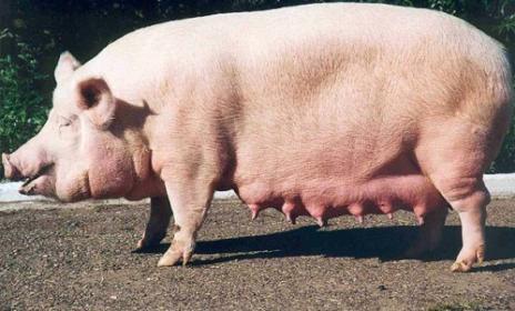 Характеристика  кемеровская,  семиреченская, эстонская беконная, уржумская порода свиньи