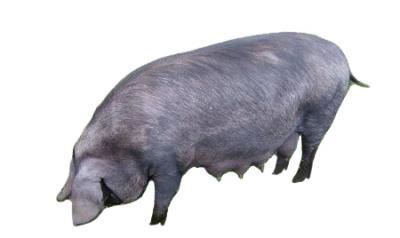 Характеристика крупная черная, украинская степная рябая,  миргородская порода  свиней