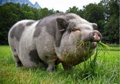 Правильные корма  для  свиней