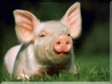 Кормление  свиней   зерновыми  кормами