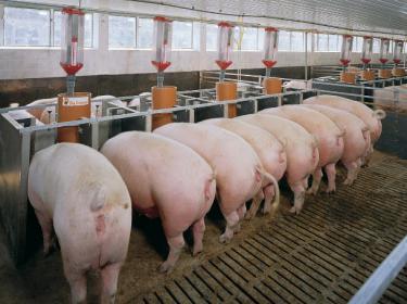 Кормление   свиней   сочными  кормами