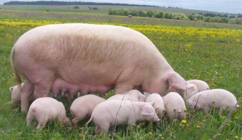 Кормление   свиней  зелеными  кормами