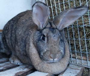 Характеристика породы  кроликов -   белого и серого великана