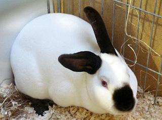 Характеристика породы  кроликов - русский горностаевый