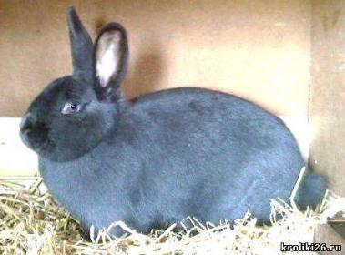 Характеристика породы венский голубой кроль