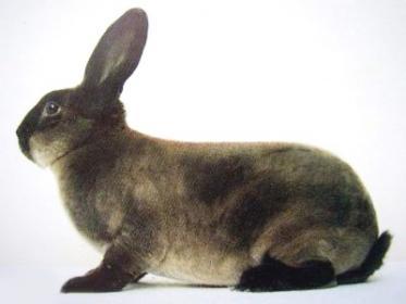 Характеристика породы  кролика - советский мардер