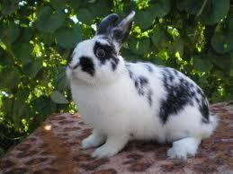 Характеристика  породы  кроликов  - бабочка  и  фландр