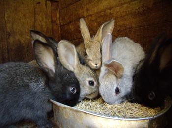 Происхождения кроликов