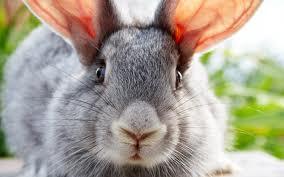Переработка и прядение пуха  кроликов