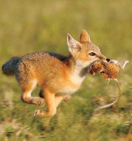 Сухие концентрированные животные корма для  лисиц