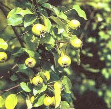 Уход за плодоносящим садом груш