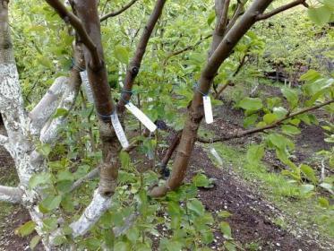 Обрезка и формирование деревьев груши