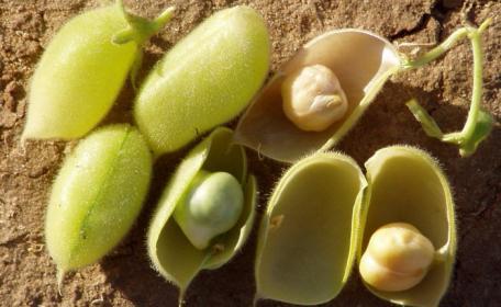 Какая  нужна подготовка семян гороха?