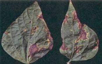 Бактериоз фасоли