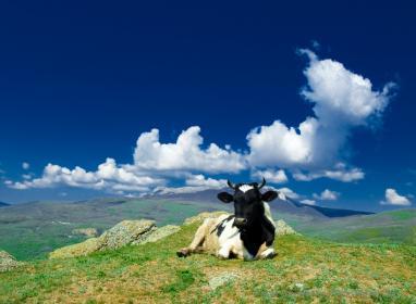 Как проходить охота  у коров