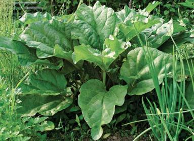 Культивация  ревеня и  особенности  выращивания