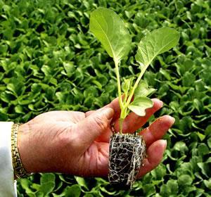 Как посадить и выращивать в открытом грунте цветную капусту
