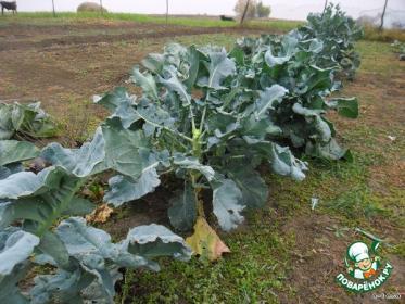 Как вырастить брокколи на семена