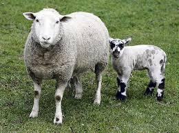 Убой и консервирование  шкуры   овцы
