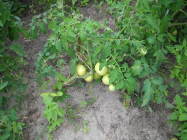 Выбор почвы  для томатов