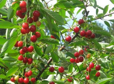 Подготовка почвы и посадка  вишни