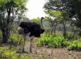 Кормление  страусов при экстенсивной системе