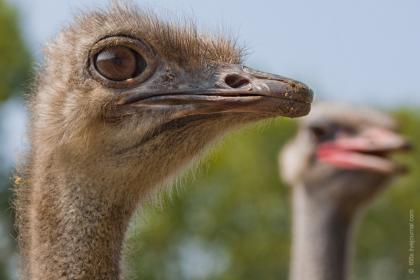 Кормление страусов в период откладывания яиц