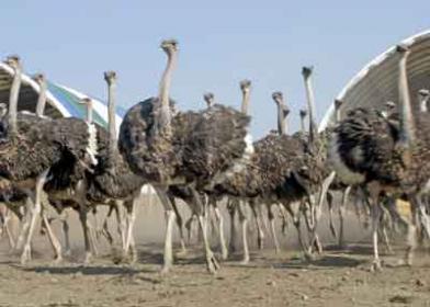 Естественная инкубация страусов