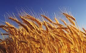 Ботанико-биологические особенности яровой  пшеницы