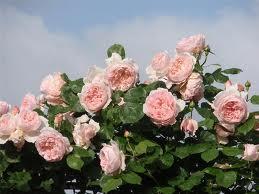 Сорта и гибриды плетистых мелкоцветковых роз