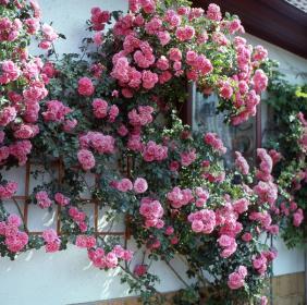 Сорта и гибриды плетистых крупноцветковых роз