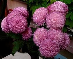 Садовая классификация хризантем