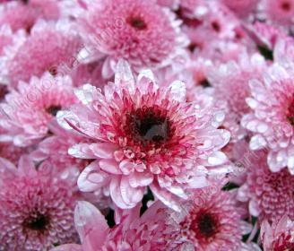 Особенности выращивания хризантем