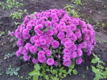 Как  выбрать участок и почву  для посадки  хризантем?