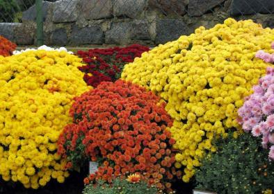 Использование  хризантем в озеленении