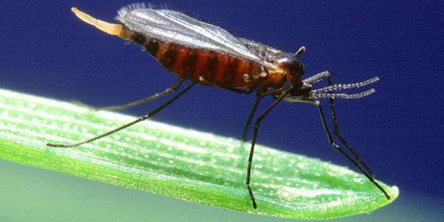 Гессенская муха. Описание.