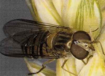 Описание  шведской  мухи