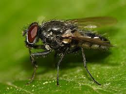 Вредоносность злаковых мух