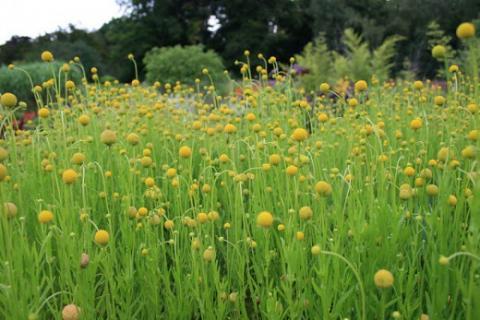 Условия выращивания  цефалофоры ароматной