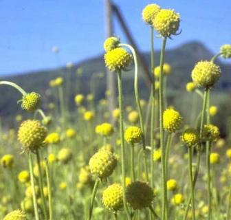 Особенности семеноводства цефалофоры ароматной
