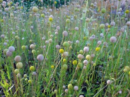 Уборку семян цефалофоры ароматной