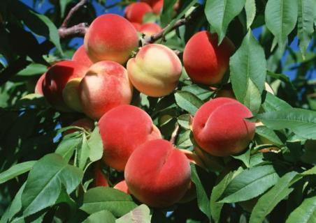 Преимущества персика